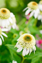 Pink double delight coneflower three heads in a flower garden Stock Images