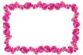 Pink dray roses flowers blossom frame Royalty Free Stock Photo