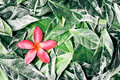 Pink drenched frangipani or plumeria on green leaves lovely beautiful Stock Photo