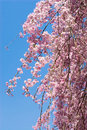 Pink drooping cherry blossoms Royalty Free Stock Photography
