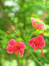 Pink Dwarf Poinciana Royalty Free Stock Photos
