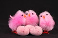 Pink easter chicks black background eggs Stock Photos