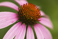 Pink Echinacea Coneflower Closeup Royalty Free Stock Photo