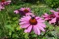 Pink Echinacea flowers Royalty Free Stock Photo