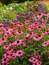 Pink Echinacea flowers at front of English cottage garden border Royalty Free Stock Photo