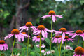 Pink echinacea flowers green nature background close up Stock Photos