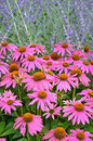 Pink echinacia flowers beautiful echinacea in summer garden Stock Photos