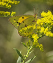 Pink Edged Sulphur Butterfly (Colias Interior) Royalty Free Stock Photo