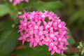 Pink egyptian star cluster flowers or pentas lanceolata Royalty Free Stock Photos