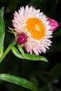 Pink english daisy bellis perennis on dark background Stock Photos