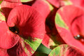 Pink Euphorbia Milii Royalty Free Stock Photo