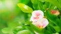 Rosa piccolo
