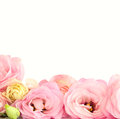 Pink Eustoma Flowers Border - isolated