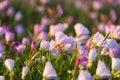 Pink Evening Primrose At Dawn