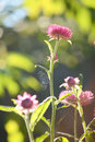 Pink everlasting flower with morning light in field Stock Image