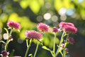 Pink everlasting flower with morning light in field Royalty Free Stock Photography