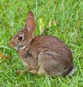 Pink eyes cottontail rabbit in the grass with slightly Stock Image