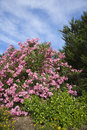 pink för buskeblomningoleander Arkivbilder