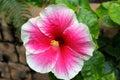 Pink faded white hibiscus photo taken on okinawa japan Royalty Free Stock Image