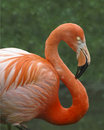 Pink flamingo Royalty Free Stock Photo