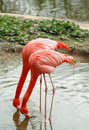 Pink flamingo Royalty Free Stock Photography