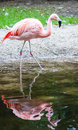 Pink flamingo ath the waterside with a reflection Stock Image