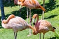Pink flamingo birds on a green grass Royalty Free Stock Photography