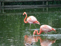 Pink flamingo birds photo of at chester zoo Royalty Free Stock Image