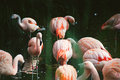 Pink flamingo birds standing in water Royalty Free Stock Photo