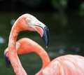 Pink flamingo close up flamingos are a wading bird in the family phoenicopteridae Royalty Free Stock Photo