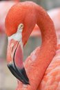 Pink flamingo a close up of a posing for the camera Stock Photography