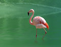 Pink flamingo close up in the water Royalty Free Stock Image