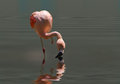Pink flamingo close up in the water Stock Images
