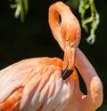 Pink flamingo closeup bird preening Stock Photos