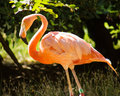 Pink flamingo colony specimen Royalty Free Stock Photo