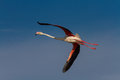 Pink Flamingo in flight Royalty Free Stock Photo