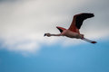 Pink flamingo in flight in the sky. Shevelev. Royalty Free Stock Photo