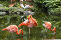 Pink flamingo in florida flamingos or flamingoes the only genus the family phoenicopteridae Royalty Free Stock Photo