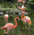 Pink flamingo in florida flamingos or flamingoes the only genus the family phoenicopteridae Royalty Free Stock Image