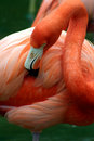 Pink flamingo grooming herself Royalty Free Stock Photography