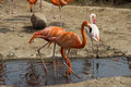 Pink flamingo group of in pond moscow zoo Royalty Free Stock Image