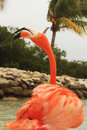 Pink flamingo with open beak for vocalizing renaissance private island aruba caribbean Royalty Free Stock Image