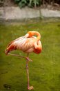 Pink flamingo picture of a Stock Images