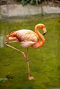 Pink flamingo picture of a Royalty Free Stock Photos
