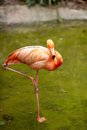 Pink flamingo picture of a Royalty Free Stock Photography