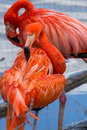 Pink flamingo preening its feathers on the pond Royalty Free Stock Photo