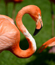 Pink flamingo profile of with curved neck Stock Photos