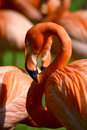 Pink flamingo profile of with curved neck Royalty Free Stock Photography