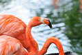 Pink flamingo profile view of a with water droplets on it s beak Royalty Free Stock Images