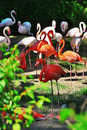 Pink flamingo red and in a zoo Stock Image